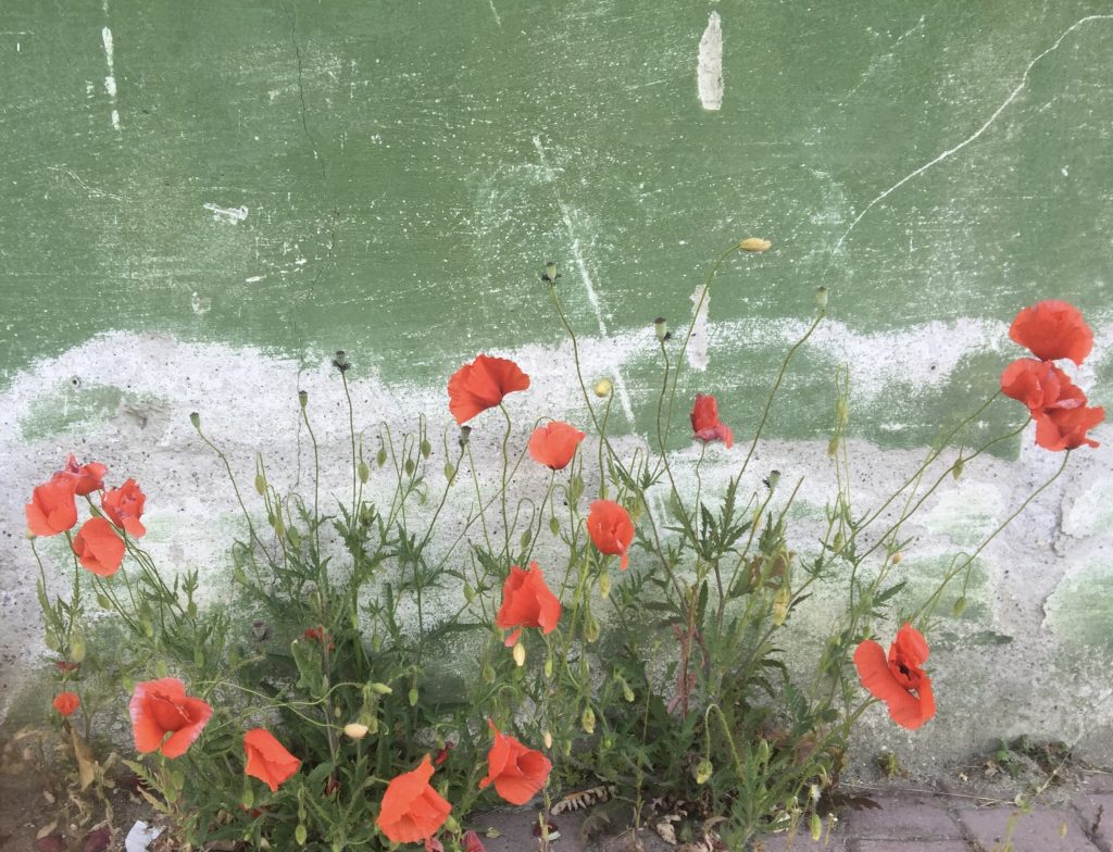 poppies grow